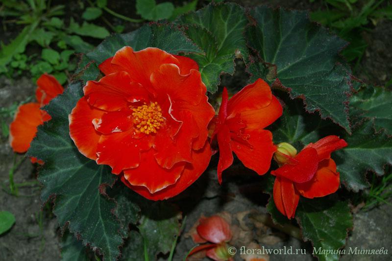 бегония камелия флора