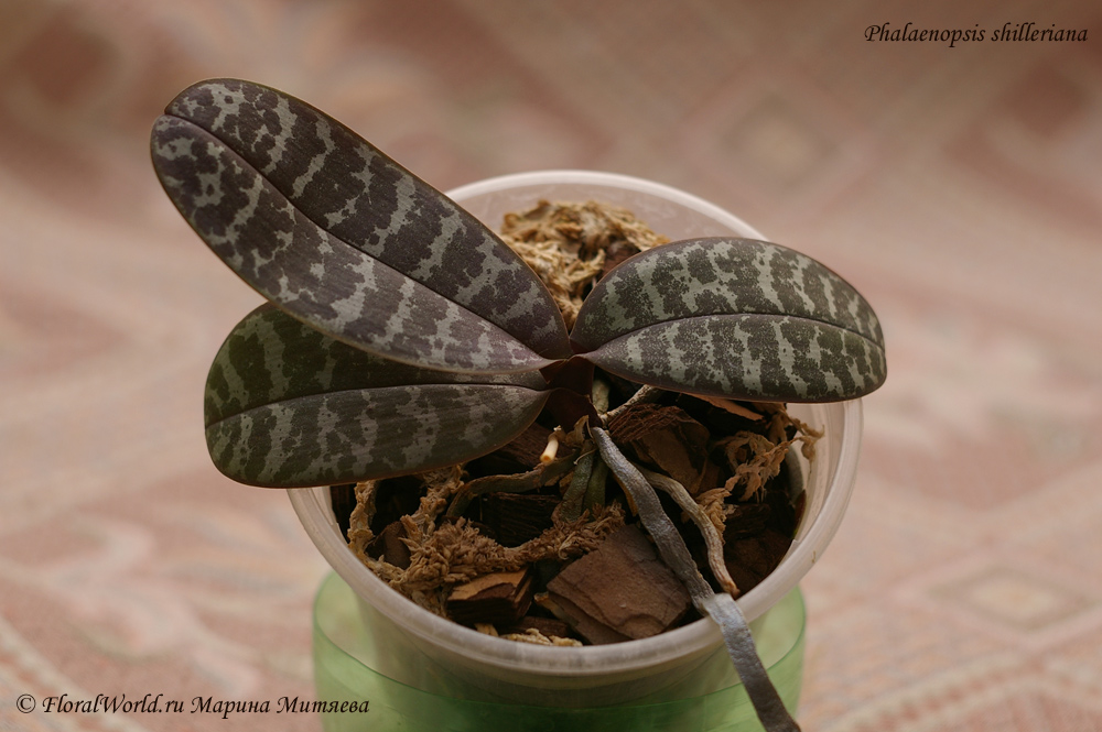 фото фаленопсис шиллера