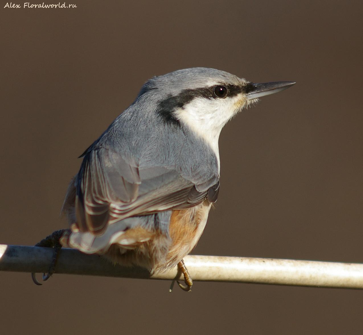 Серая птичка с длинным клювом фото