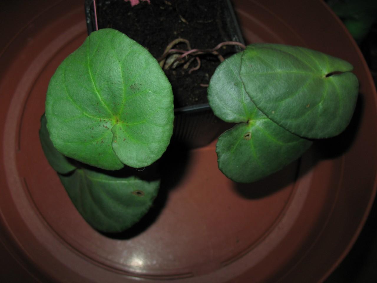 Почему листья у цикламена скручиваются