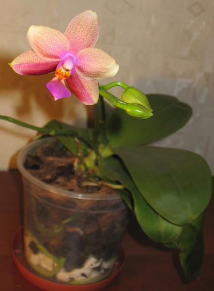 Phalaenopsis Liodora