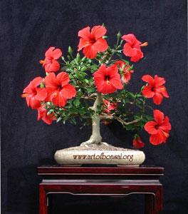 Фото Бонсай из Гибискуса китайского (Hibiscus rosa-sinensis)