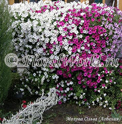 Petunia 'Eazy Wave mix Triumf'
