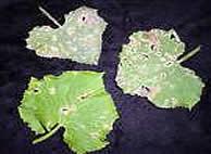 Фото пораженных листьев