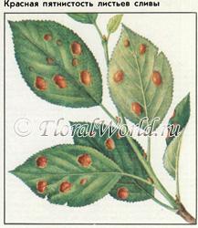 Красная пятнистость листьев