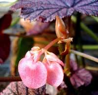 Фото цветков Бегонии сорт Arthur Mallet