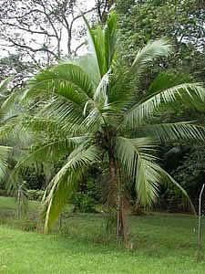 Кокосовая пальма (Cocos nucifera)