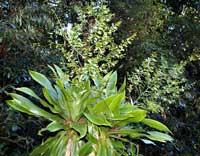 Драцена - Dracaena описание и уход на