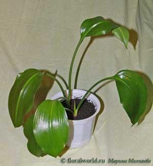 Цветок эухарис или амазонская лилия: уход, пересадка 39