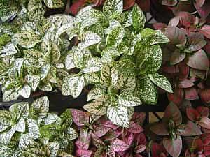 Фото культиваров Гипоэстеса листоколосникового (Hypoestes phyllostachya cv. pink cushion)