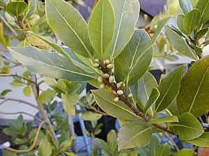 Фото Лавра благородного (Laurus nobilis)