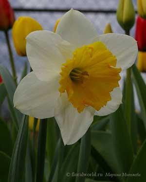 крупнокорончатый Нарцисс