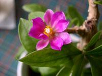 Фото Перескии большецветковой (Pereskia grandiflora)
