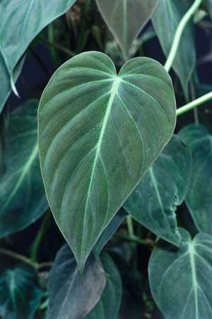 фото Филодендрона золотисто-черного (Philodendron melanochrysum)