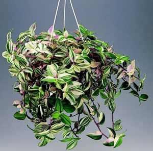 цветы домашние плетущиеся фото и названия