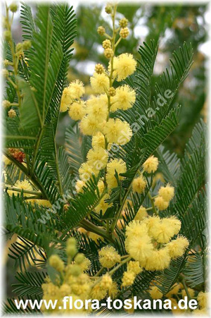 Акация серебристаяа(Acacia dealbata)