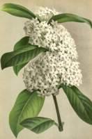 Фото акокантеры длинолистной (Acokanthera spectabilis)