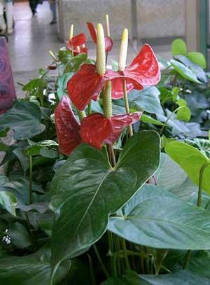 Фото Антуриума Андрэ (Anthurium andraeanum)