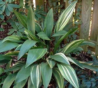 Аспидистра высокая форма Variegata (Aspidistra elatior