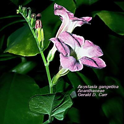 Фото азистазии гангетика (Asystasia gangetica)