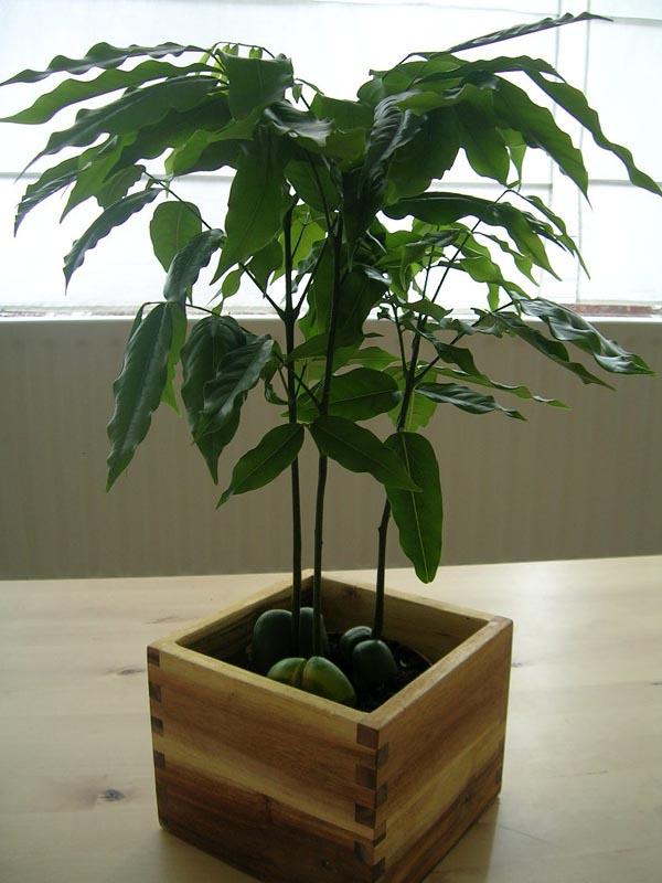 Уход за растением кастаноспермум