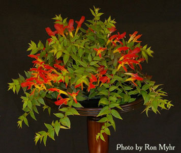 Columnea 'Early Bird'