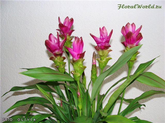 Цветок куркума домашняя фото