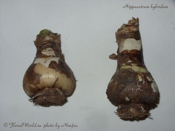 амариллис и гиппеаструм различия фото