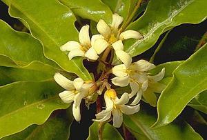Фото Питтоспорума волнистого (Pittosporum undulatum)