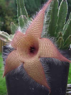 фото Стапелии гигантской (Stapelia gigantea)