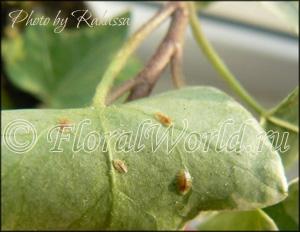 Щитовки (Diaspididae)