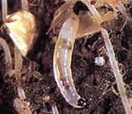 Что такое грибной комарик и как от него избавиться?